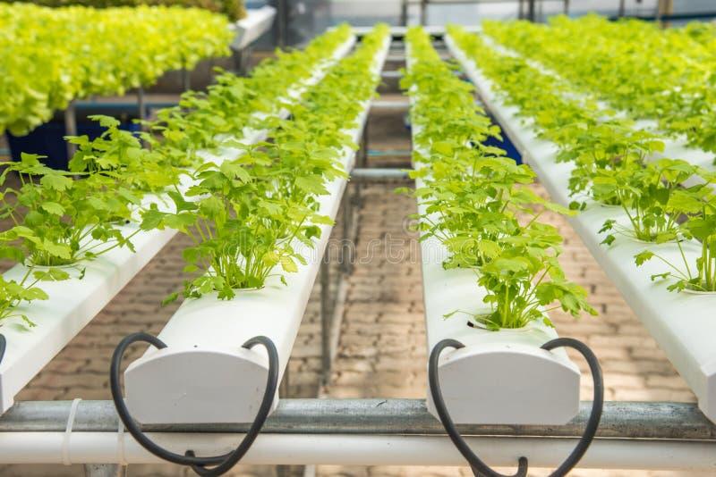 Azienda agricola di verdure idroponica organica di coltivazione, hydrop di coltivazione immagine stock