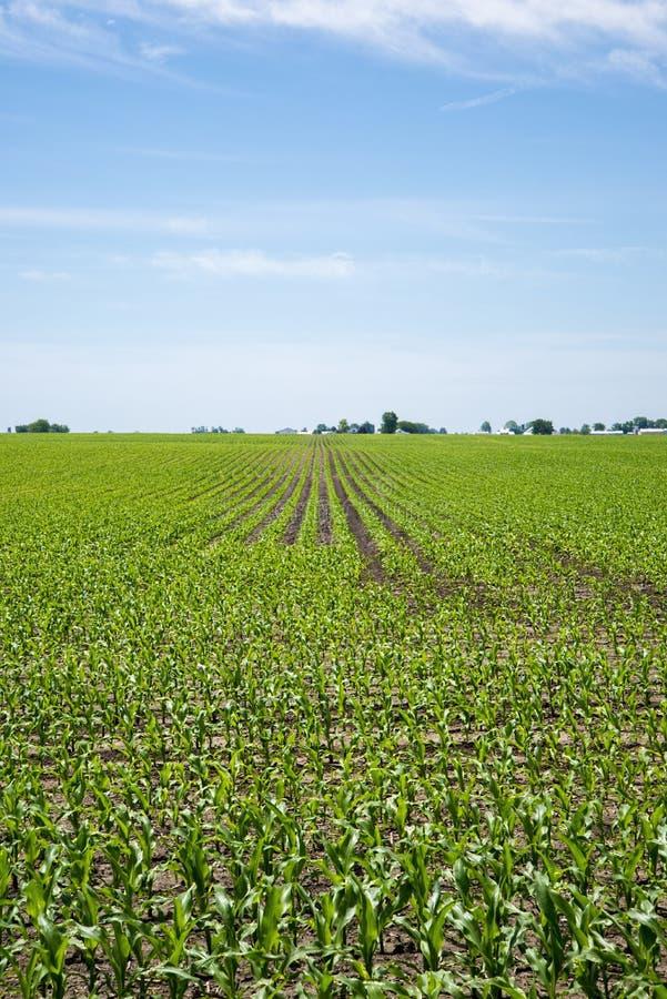 Azienda agricola e campo di grano di Amish immagine stock