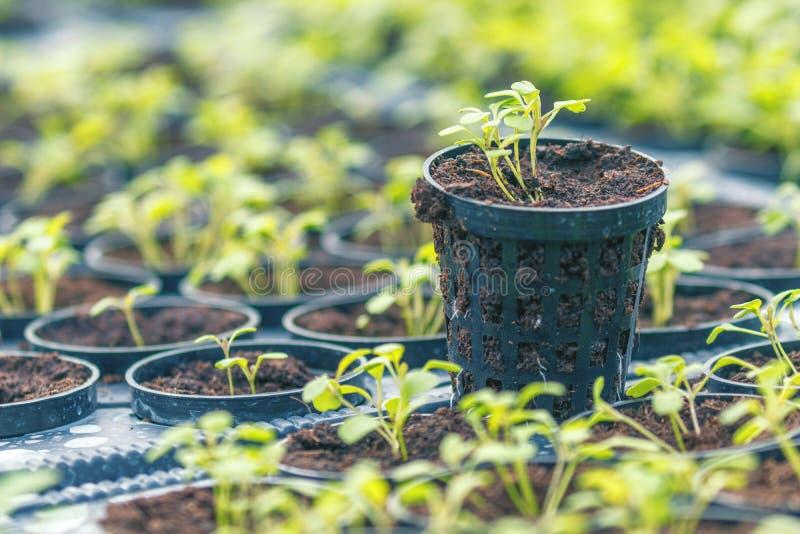 Azienda agricola idroponica di Rucola Giovani piante di Rucola, giovani razzi, germogli di Rucola, piantine della primavera Verdu immagine stock libera da diritti