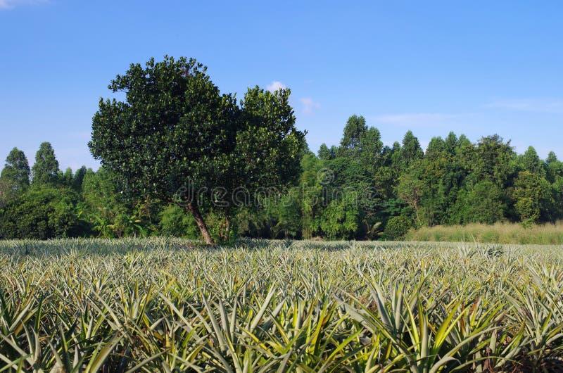 Azienda agricola organica dell'ananas immagine stock libera da diritti