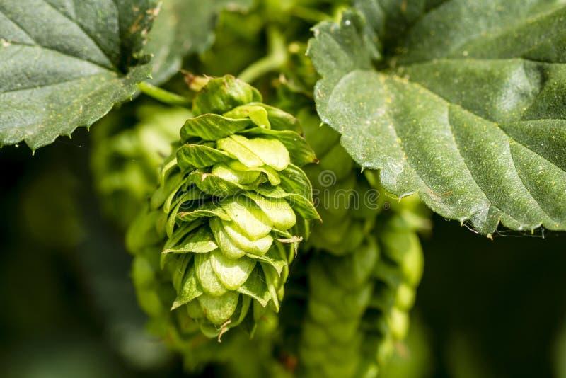 Azienda agricola organica di luppolo per fare birra immagini stock libere da diritti