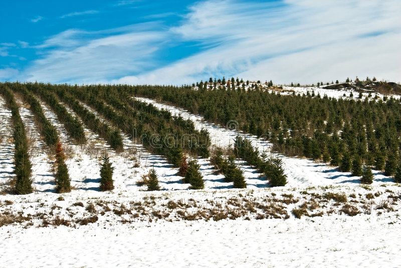 Azienda agricola/orizzonte dell'albero di Natale fotografia stock