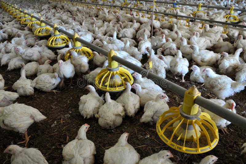 Azienda agricola per i polli da carne crescenti fotografia stock