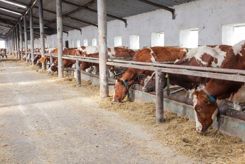 Azienda agricola per il bestiame dentro durante fotografia stock libera da diritti