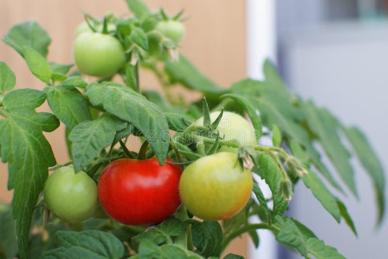 Azienda agricola rossa verde Harves di agricoltura del fuoco selettivo della pianta di pomodori immagini stock