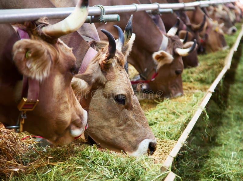 Azienda agricola svizzera della mucca fotografia stock libera da diritti
