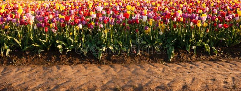 Azienda agricola variopinta della lampadina di file dei tulipani dell'agricoltore ordinato dei fiori fotografia stock libera da diritti