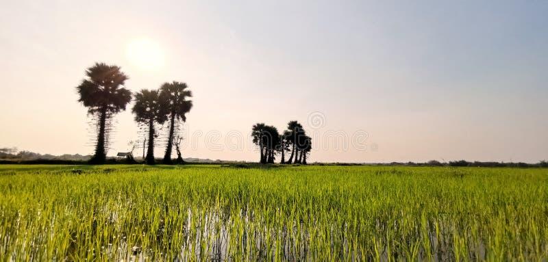 Azienda agricola verde del riso o del campo con le palme da zucchero in Tailandia immagine stock libera da diritti