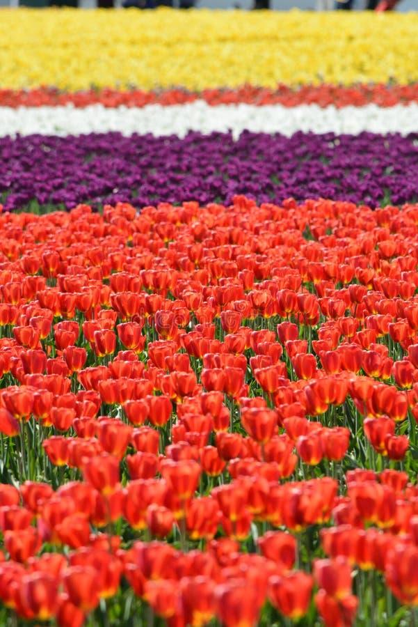 Aziende agricole del tulipano fotografie stock libere da diritti