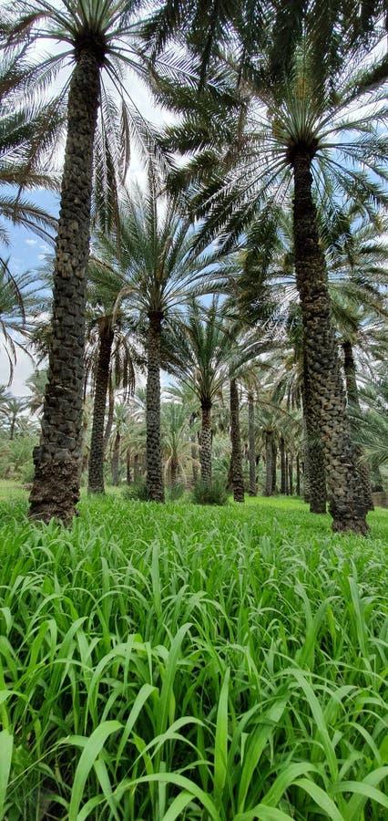 Aziende agricole della palma e del foraggio in una vista lunga ed estesa del paesaggio dal sultanato dell'Oman - Al Hamra 2 fotografie stock