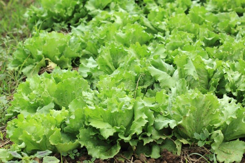 Aziende agricole di verdure organiche fotografie stock