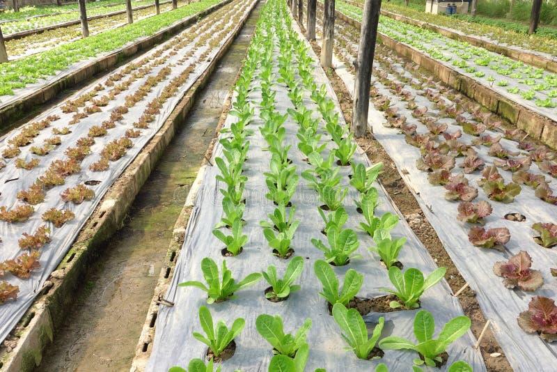 Aziende agricole di verdure organiche crescenti immagine stock libera da diritti