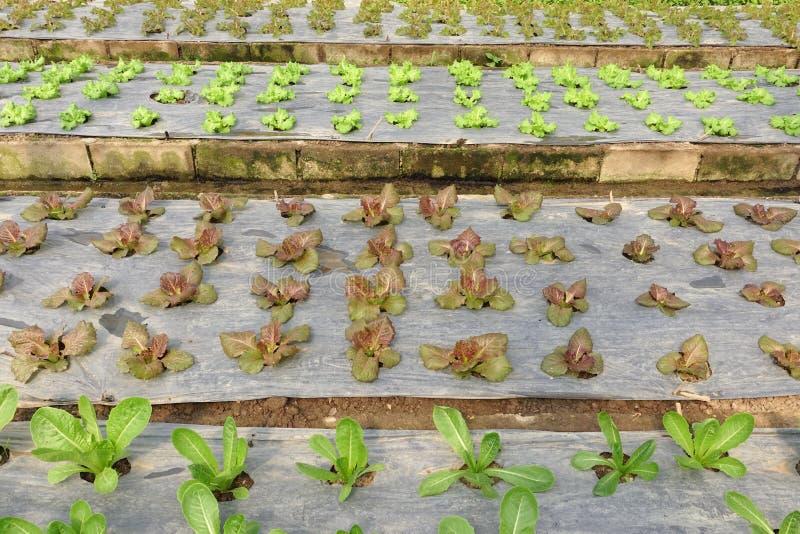 Aziende agricole di verdure organiche crescenti immagini stock
