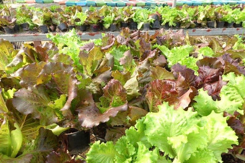 Aziende agricole di verdure organiche crescenti fotografia stock libera da diritti