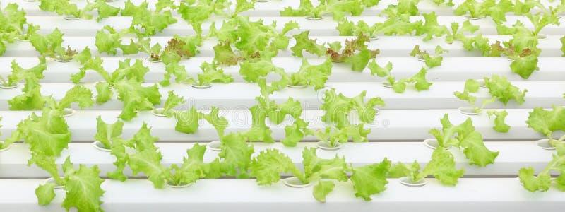 Aziende agricole di verdure organiche crescenti fotografia stock