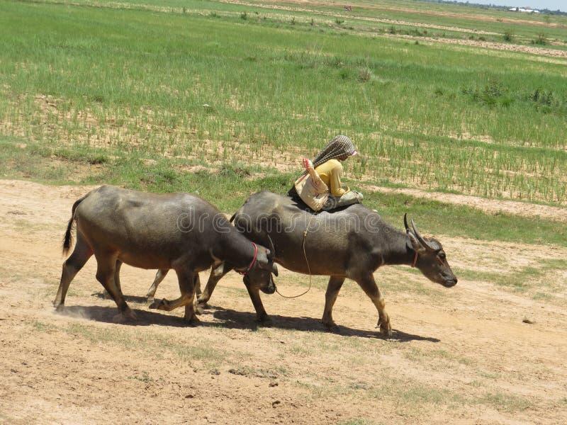 Azionamento del bestiame in cambobia immagini stock libere da diritti