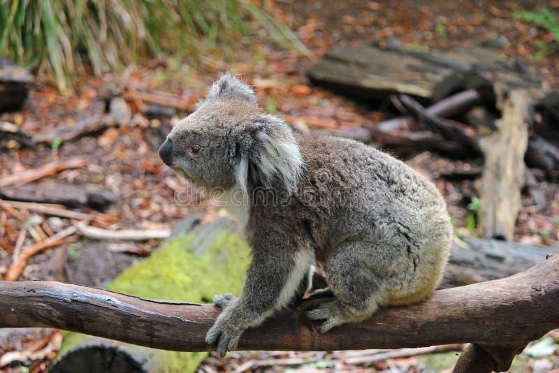 Azione australiana della koala fotografia stock libera da diritti