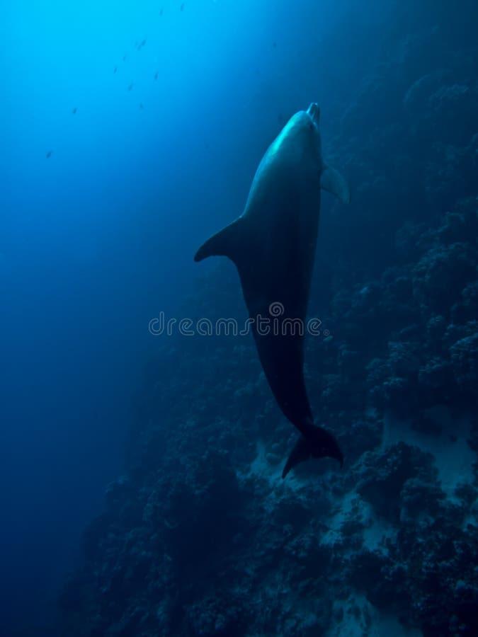 Azione subacquea del delfino nel Mar Rosso fotografia stock