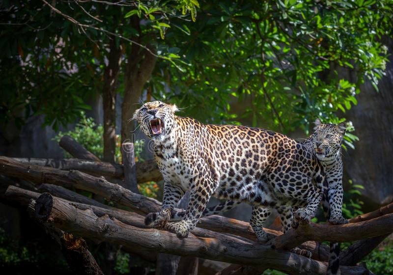 Azioni del leopardo che ruggono immagine stock