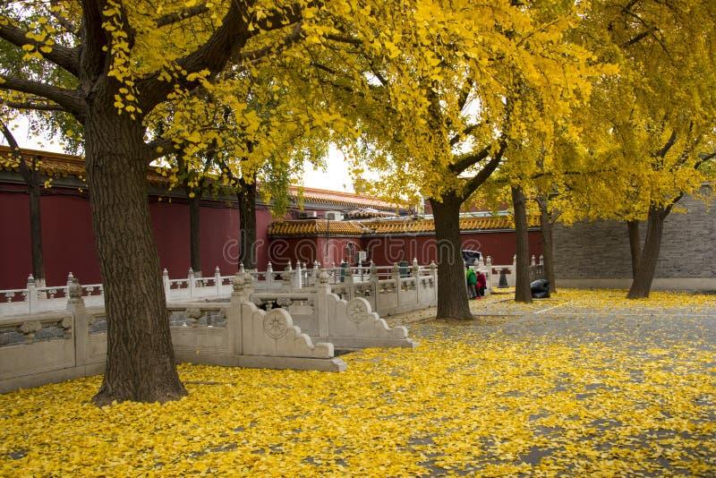 Azja Chiny, Pekin, Zhongshan park, ogrodowy Sceniczny, jesieni ginkgo drzewo fotografia stock
