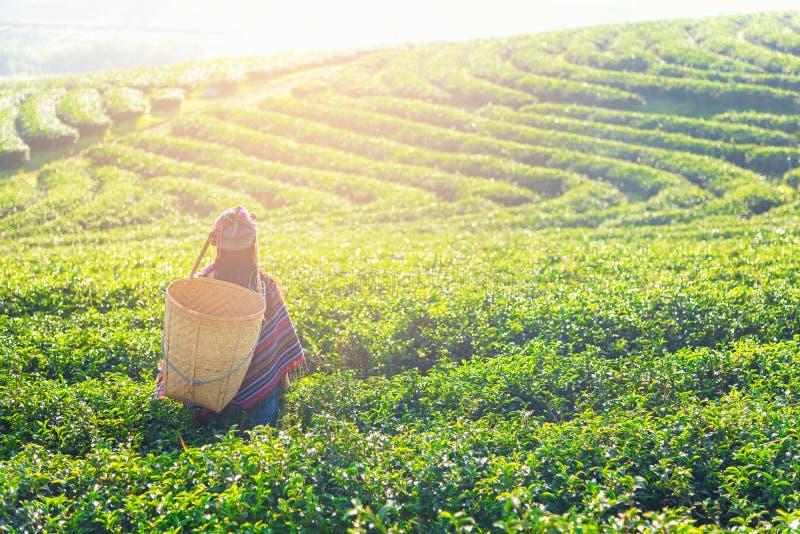 Azja pracownika średniorolne kobiety podnosili herbacianych liście dla tradycji w wschód słońca ranku przy herbacianej plantacji  zdjęcia royalty free