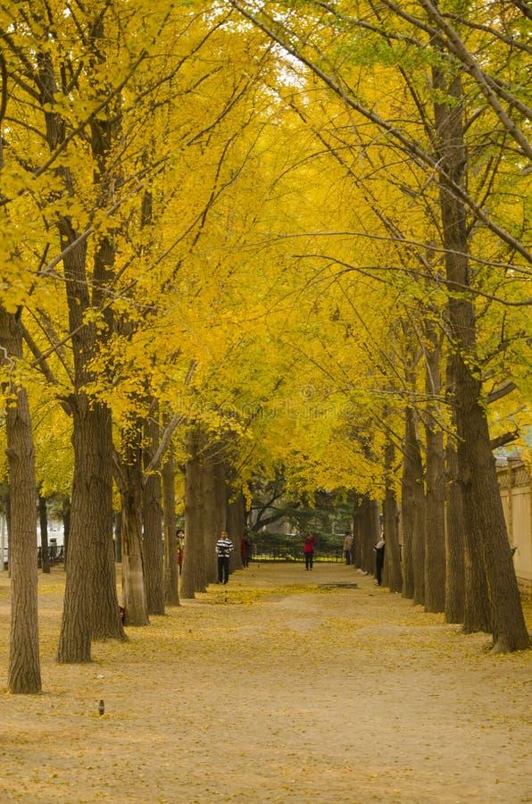 Azjata Chiny, Pekin, ginkgo krajobrazowa aleja zdjęcie royalty free