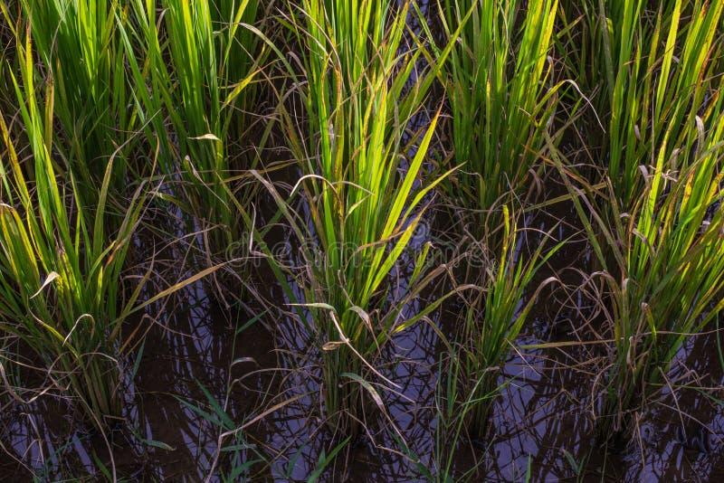 Download Azjata Krajobraz Z Ricefield Zdjęcie Stock - Obraz złożonej z natura, chmura: 41950634