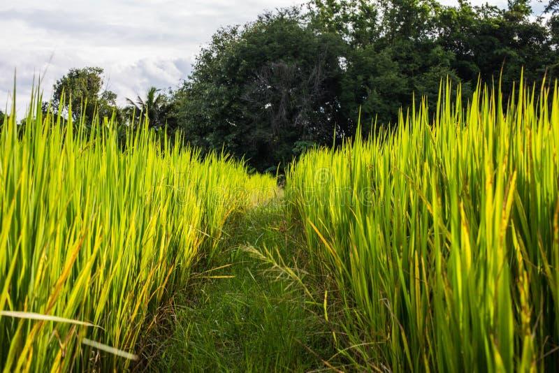 Download Azjata Krajobraz Z Ricefield Obraz Stock - Obraz złożonej z roślina, buda: 41950683