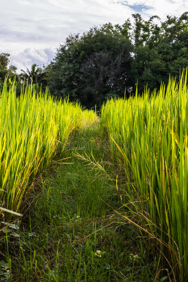 Download Azjata Krajobraz Z Ricefield Obraz Stock - Obraz złożonej z ryż, cumulus: 41951079