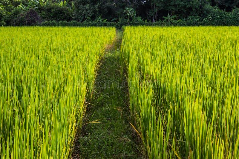Download Azjata Krajobraz Z Ricefield Obraz Stock - Obraz złożonej z asia, greenbacks: 41951225