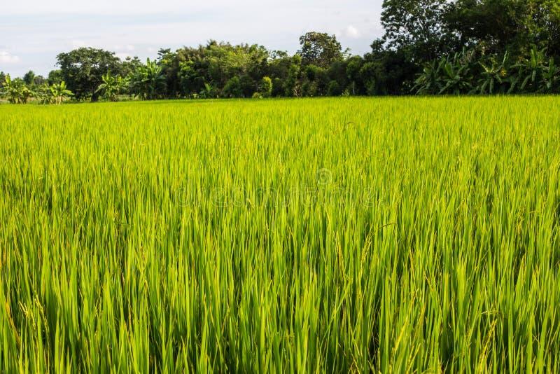 Download Azjata Krajobraz Z Ricefield Obraz Stock - Obraz złożonej z natura, fielder: 41951233