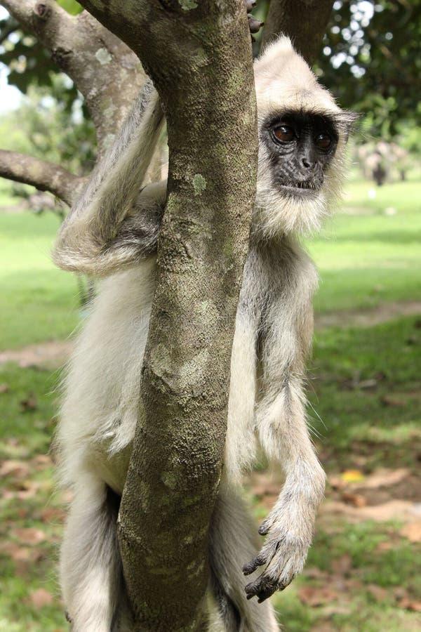 Azjata małpa, Sri Lanka fotografia stock