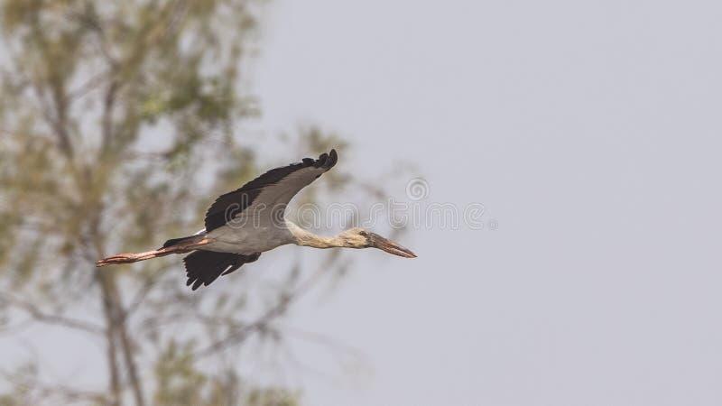 Azjata Openbill latanie Przed drzewem zdjęcia royalty free
