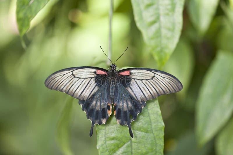 Azjata Swallowtail motyl zdjęcia stock