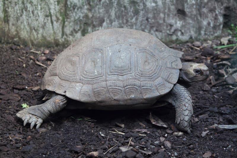 Download Azjatyccy Gigantycznego Tortoise Manouria Emys Obraz Stock - Obraz złożonej z giganty, naturalny: 106914841