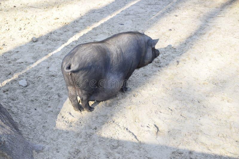 Azjatycka żeńska potbelly świnia zdjęcie stock