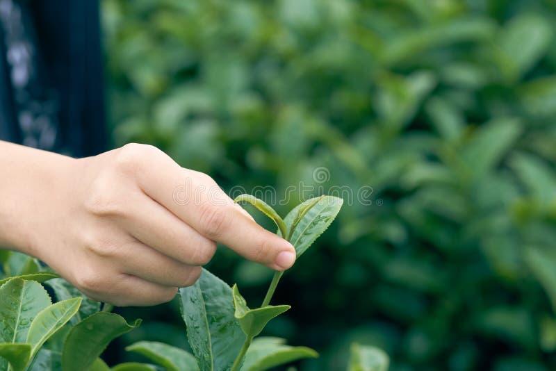 Azjatycka kobiety ręka podnosi up herbacianych liście od herbacianej plantaci nowi krótkopędy jest miękkimi krótkopędami Woda jes obraz royalty free