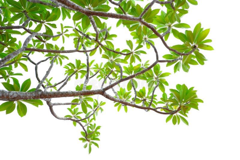 Azjatycka tropikalna zieleń opuszcza to odizolowywa na białym tle obrazy stock