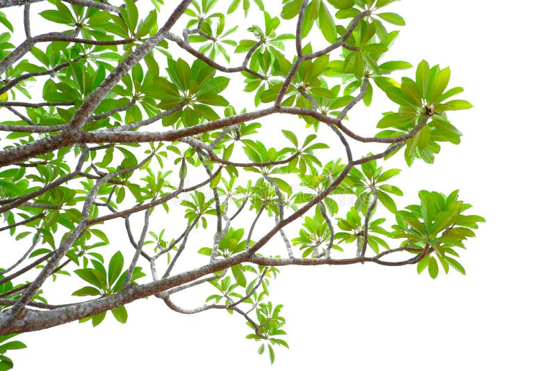 Azjatycka tropikalna zieleń opuszcza to odizolowywa na białym tle obrazy royalty free