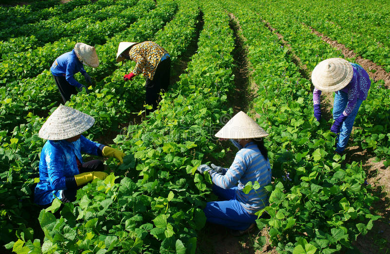 Azjatycki średniorolny działanie na rolnictwa polu obrazy royalty free