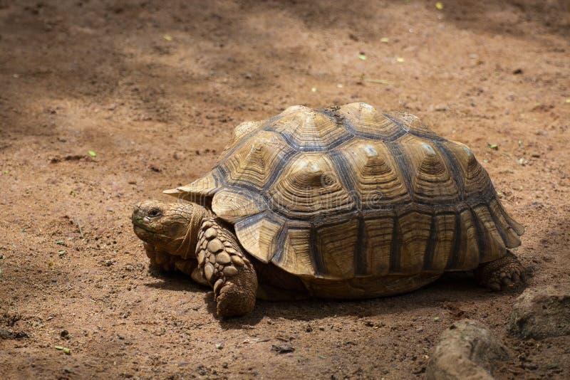Azjatycki gigant i Galapagos tortoise żywy w ziemi zdjęcia stock
