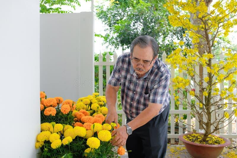 Azjatycki mężczyzna dekoruje Chińskiego nowego roku/Księżycowy nowy rok z kwitnącym żółtym kwiatem przed domem zdjęcia stock