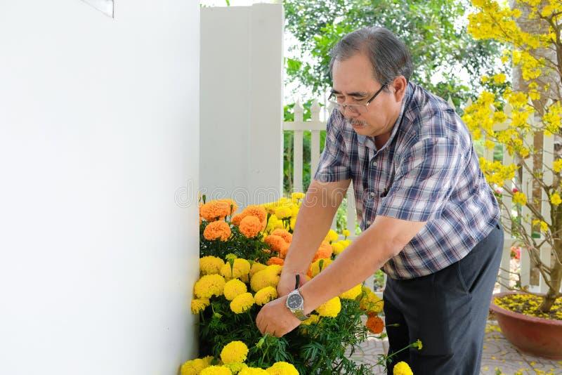Azjatycki mężczyzna dekoruje Chińskiego nowego roku/Księżycowy nowy rok z kwitnącym żółtym kwiatem przed domem obrazy royalty free