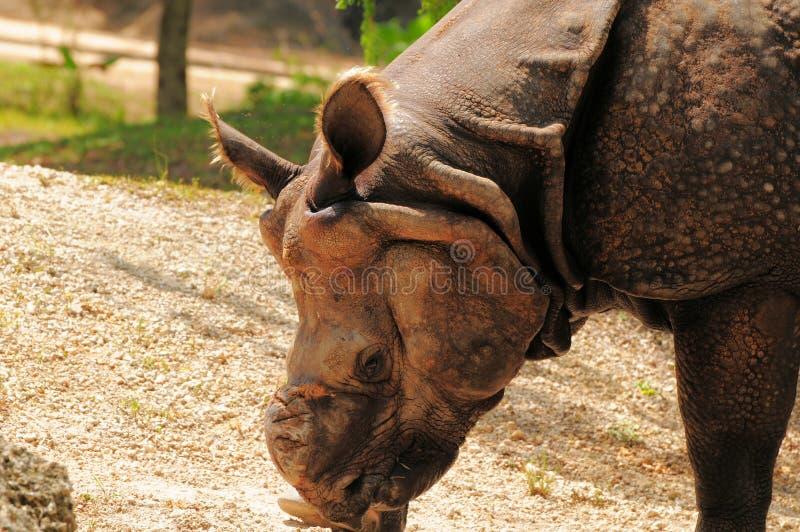 Download Azjatycki Nosorożec łasowanie Zdjęcie Stock - Obraz złożonej z skały, zwierzęta: 28958354