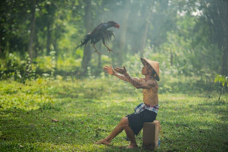 Azjatycki rolnik trenuje jego walczącego koguta zdjęcie royalty free