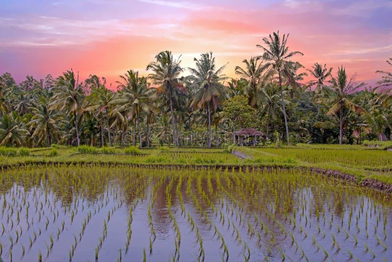Azjatycki ryżu pola krajobraz w Jawa wyspie, Indonezja przy zmierzchem obraz royalty free