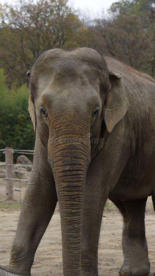 Azjatycki słoń patrzeje kamerę fotografia stock