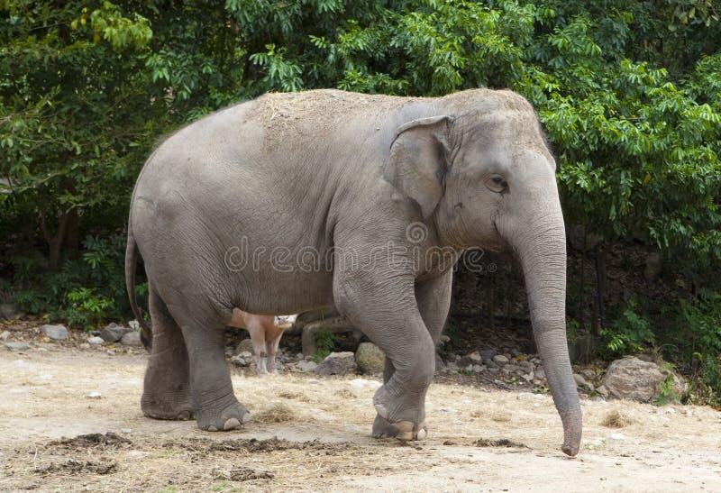 Azjatycki słoń fotografia royalty free
