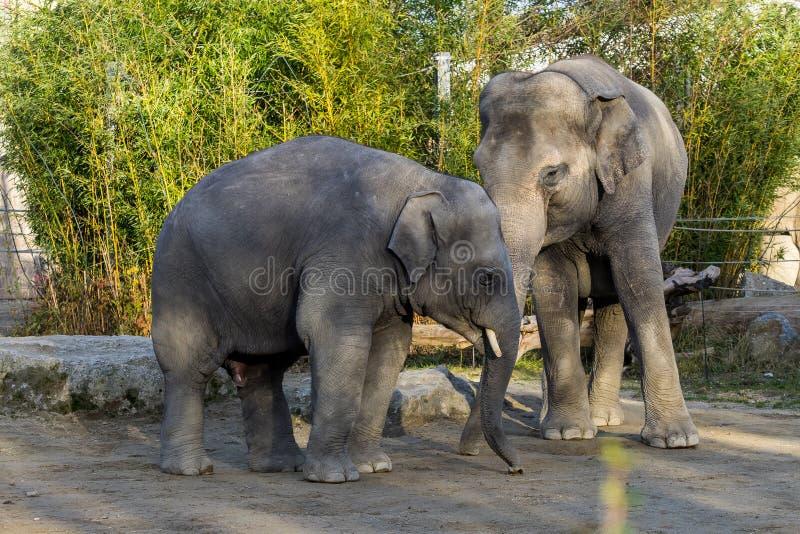 Azjatycki s?o?, Elephas maximus tak?e dzwoni? Asiatic s?onia zdjęcia stock