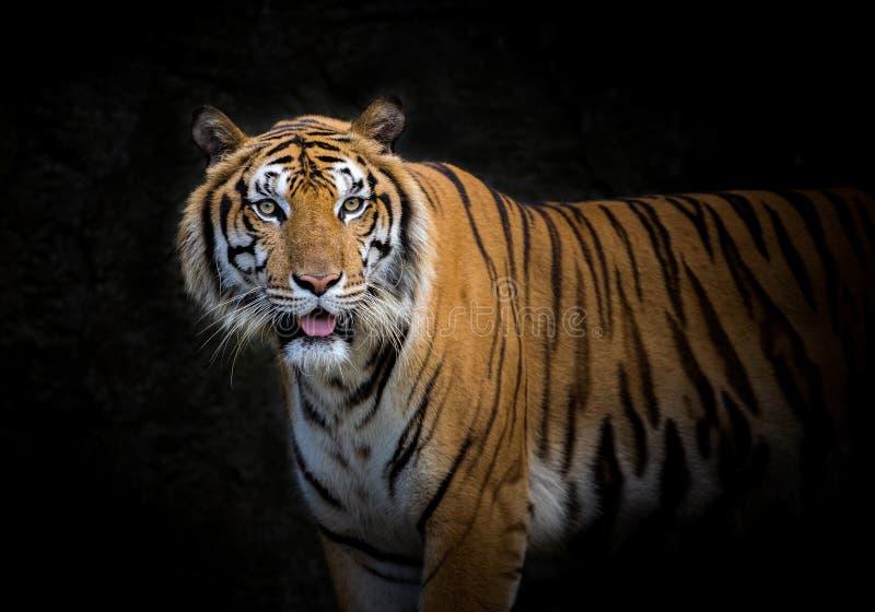 Azjatycki tygrys na czarnym tle obrazy royalty free